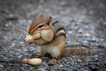 Hungry Chipmunk Eating Peanuts