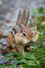 Hungry Chipmunk With Peanuts
