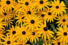 Beautiful Yellow Rudbeckia Flo...