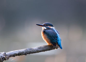 Kingfisher standing on branch