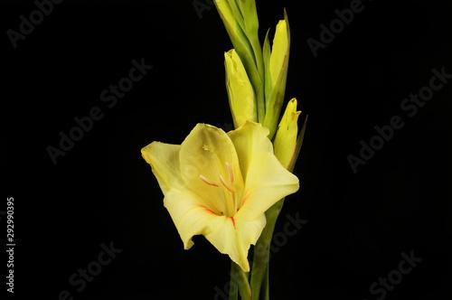 Cuadros en Lienzo Yellow gladioli against black