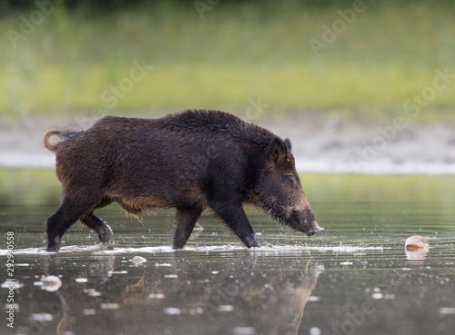 plakat Wild boar in shallow water in forest