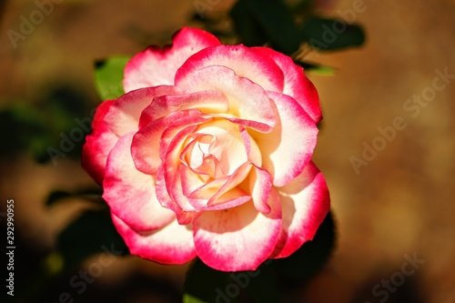 Brilliant Color Rose Isolated as a Macro
