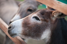Curious Donkeys Behind A Fence
