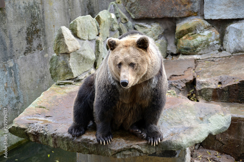 Brown bear (Ursus arctos Linnaeus) sits on an open ground at the zoo