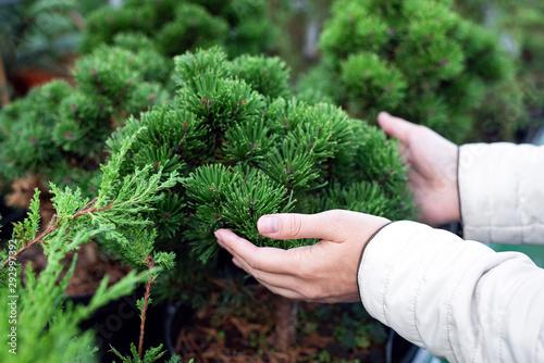 Fotografie, Tablou Gardener touching a coniferous tree in a pot.