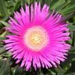 canvas print picture - Pink Ice plant (Carpobrotus edulis) blossomclose-upin bloom