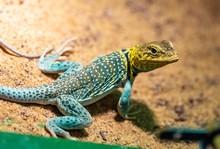 Yellow-headed Collared Lizard