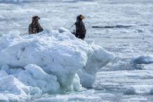 流氷で休むオオワシ