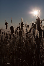 Silhouetted Bulrushes With Sun