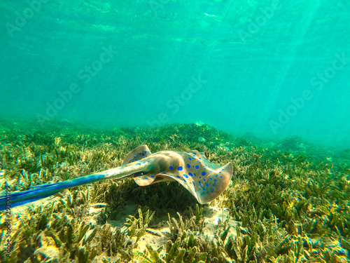 Foto auf AluDibond Reef grun Underwater photo of stingray and free space for your decoration