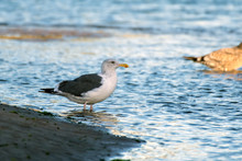 Southern California Seagulls R...