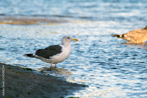 Southern California Seagulls roosting along the sandy shore of the beach as morning light illuminates the bird standing in water Canvas Print