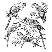 Vintage Engraving Of Parrots