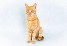 Sitting Ginger Tom Cat On White Background