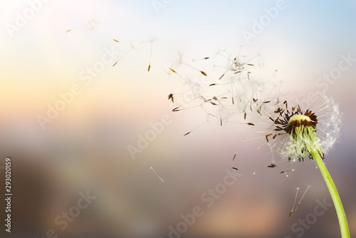 Dandelion with blowing seeds, on  background - 293020159