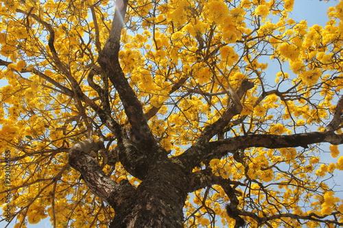 Fotografie, Obraz Ipê Amarelo