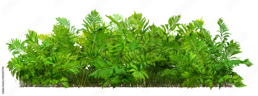 Fototapeta Hedge of fern plant isolated on a white background. Bush of lush green leaves. High quality clipping mask for professional composition.