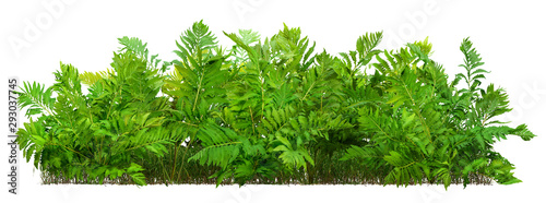 Hedge of fern plant isolated on a white background Fototapet