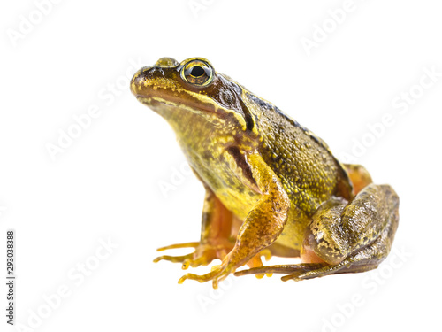 Spoed Foto op Canvas Kikker Common brown frog on white background
