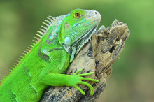 Green Iguana On The Wood With Nature Background