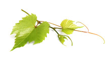 Fresh Green Grape Leaves On Wh...