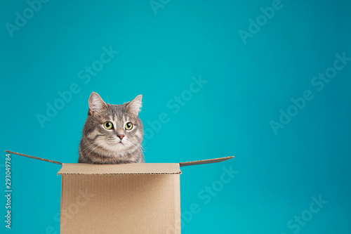 Cute grey tabby cat sitting in cardboard box on blue background