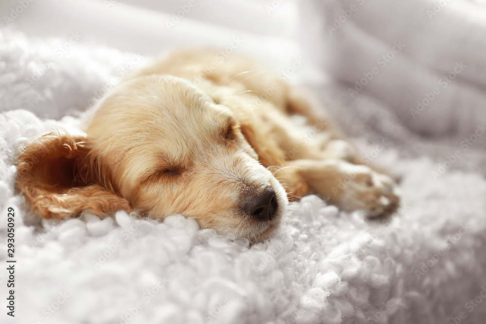 Fototapety, obrazy: Cute English Cocker Spaniel puppy sleeping on plaid indoors, closeup