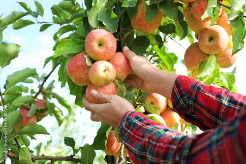 Fotografering Woman picking ripe apples from tree outdoors, closeup