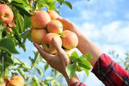 Obraz na płótnie Woman picking ripe apples from tree outdoors, closeup