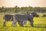 Fototapeta Sawanna - Common Zebra herd grazing on savanna