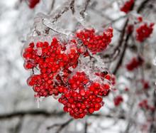 A Bunch Of Red Rowan Berries C...