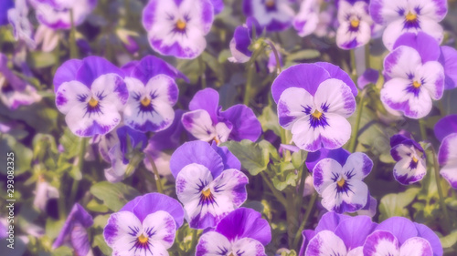 Papiers peints Pansies Group of white with purple color pansy flowers in spring garden