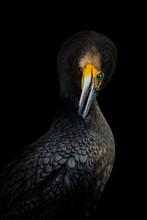 Isolated Cormorant Portrait On Black Background