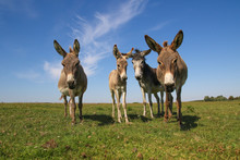 Four Funny Curious Donkeys Is ...