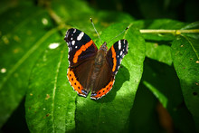 Red Admiral Butterfly On Green...
