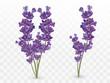 Bunch beautiful violet flowers. Lavender isolated on transparent background. Fragrant bunch lavender. Tender bouguet of lavender. Vector illustration