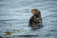 Close Up Of A Sea Otter In The...