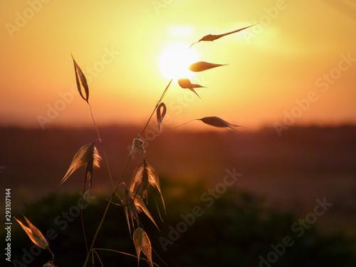 Fototapeta  Getreidehalm vor untertergehender Sonne