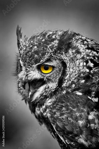 Fototapeta Spotted Eagle Owl with open beak mono yellow eye obraz na płótnie