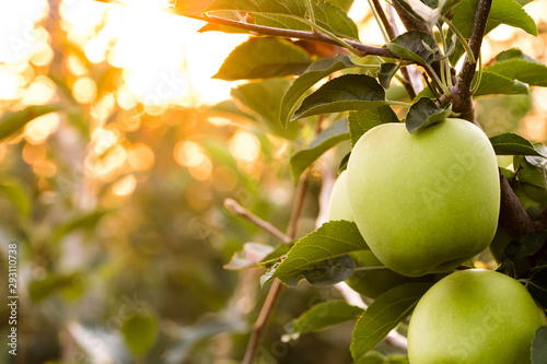 Golden Delicious apples at golden hour in August, dramatic yellow color Wallpaper Mural