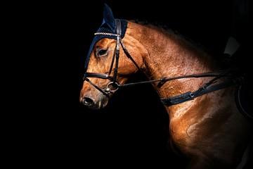 Champion horses . Arab racer
