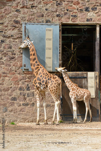 Small young giraffe stands behind its mother appearing to be measuring its height against hers Wallpaper Mural