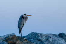 Great Blue Heron On Rocks Duri...