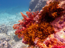 UNDERWATER Sea Level Photo. Colorful Seaweed From Marine Life Of The Aponissos Beach, Agistri Island, Saronic Gulf, Greece.
