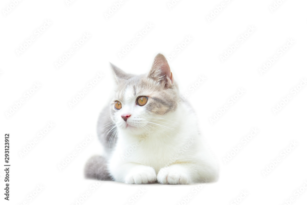 Fototapeta Scottish Fold kittens are sitting on white background. Portrait of the kittens are sitting for look something. The cat is waiting to eat.
