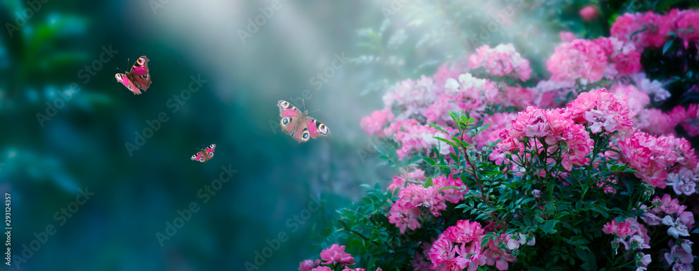 Fototapeta Mysterious fairytale spring or summer fantasy floral wide banner with rose flowers blossom, flying peacock eye butterflies on blurred beautiful background toned in bright colors and shining sun beam