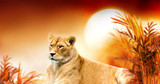 Fototapeta Sawanna - African female lion and sunset in Africa. Savannah landscape with palm trees, king of animals. Spectacular warm sun light, red cloudy sky. Portrait of pride dreaming  lioness in savanna looking forw