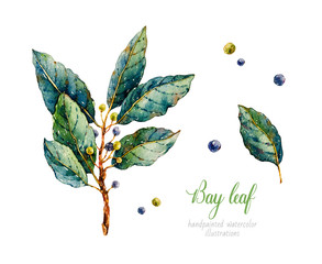 Fototapeta Przyprawy Bay leaf. Watercolor laurel. Herbs. Watercolor botanical hand drawn illustration. Black pepper