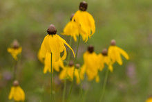 Grayhead Coneflower Blooming I...